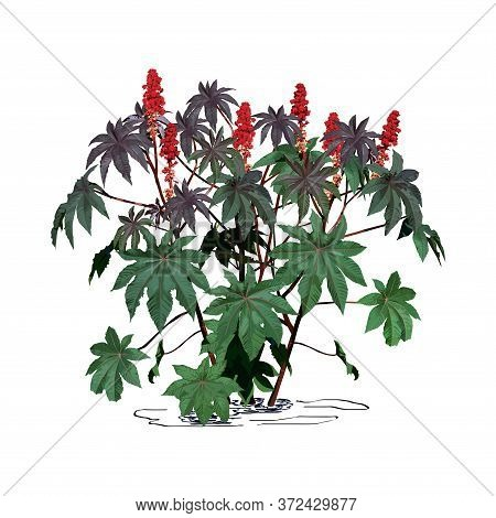 Castor-bean Tree (ricinus Communis L.) With Large Flowers, Color Vector Image On White Background