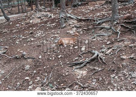 Eld 's Hog Spotted Deer Resting Relaxing In Park