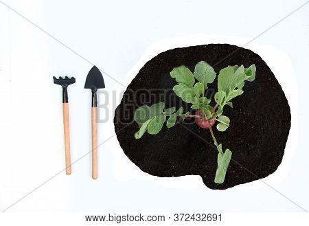 Fresh Garden Radish On The Garden-bed, Shovel And Rake Isolated On White Background Flat Lay. Garden