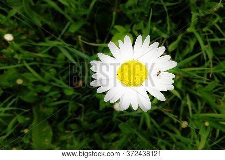 Flower-head Of Oxeye Daisy Or Moon Daisy Leucanthemum Vulgare Perennial Plant Isolated Against Green