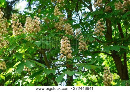 Yellow Chestnut Flower On A Background Of Green Leaves. Chestnut Blossoms