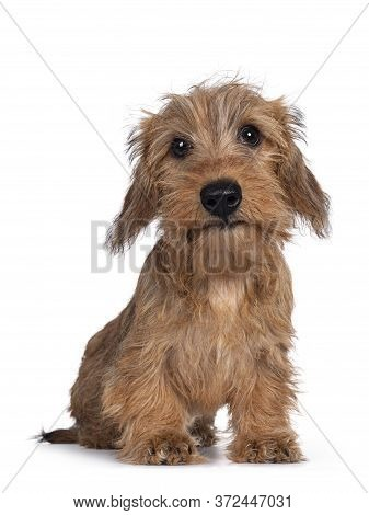 Adorable Wirehair Kanninchen Dachshund Pup, Sitting Facing Camera. Looking Straight At Lens With Dar