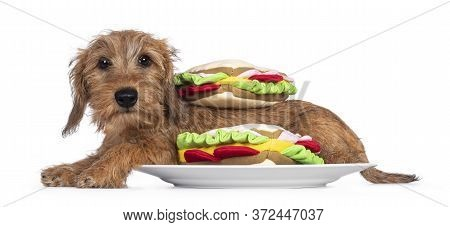 Adorable Wirehair Kanninchen Dachshund Pup, Laying Down Side Ways On Plate Inbetween Toy Sandwiches.