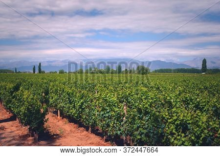 Grapevine Rows At A Vineyard Estate In Mendoza, Argentina, With Andes Mountains In The Background. W