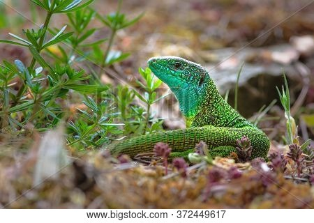 The European Green Lizard (lacerta Viridis) Is A Large Omnivorous Lizard Species.
