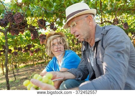Agricultural Checking Quality Wine Grapes In Vineyard. Winemaker Examining Wite Grapes. Traditional