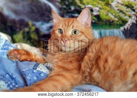 Beautiful Young Red Cat With One Eye Defeat Of The Cornea Directly As A Result Of Infectious Disease