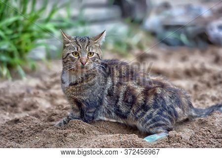 Big Black Marble British Kitten On Sand