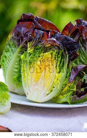 Fresh Harvest Of Violet Romaine Or Cos Lettuce