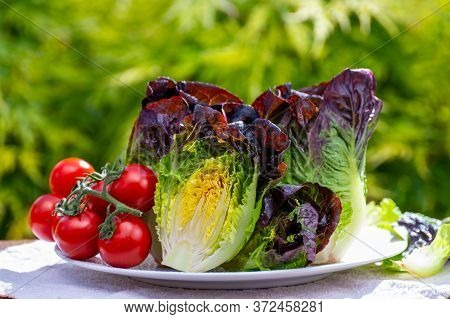Fresh Harvest Of Violet Romaine Or Cos Lettuce And Sweet Cherry Tomatoes