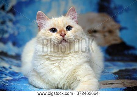White Fluffy Thai Cat On Blue Close Up