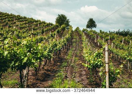 Landscape Of Vineyard, Nature Background. Landscape Of Hills With Vineyards In Moldova. Vineyard Wit