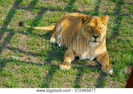 Disgruntled Lioness Waiting For A Lion To Clarify The Relationship