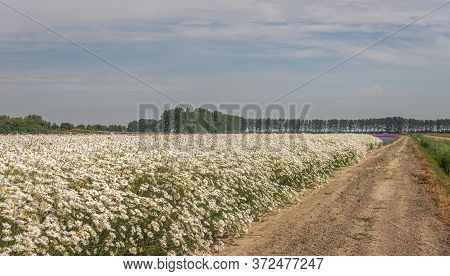 Picturesque Dutch Landscape With A Sandy Country Road Next To A Large Field Full Of White Blooming O