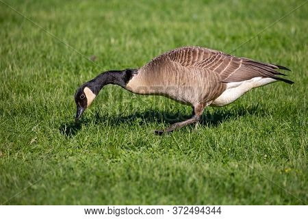 Adult Canada Goose (branta Canadensis) Looking For Food In The Grass In Wisconsin, Horizontal