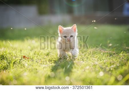 Cute Brown Scottish Kitten Walking And Playing On Lawn In Park In Morning. Fresh And Lovely. Scottis