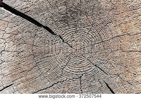 The Texture Of The Sawn End Of An Old Log For The Background