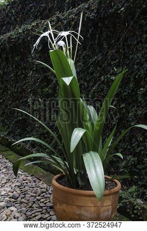 White Schnhutchen Hymenocallis Latifolia Flower In Garden, Stock Photo