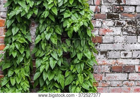 Old Brick Wall With A Climbing Green Plant Close