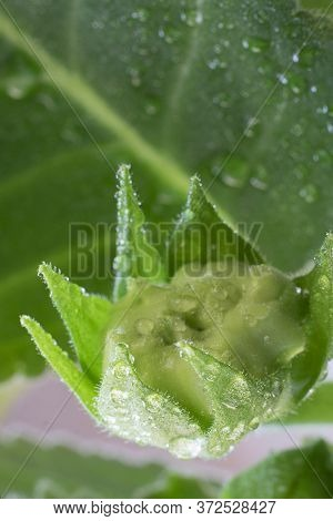 Close Up Sinningia Or Gloxinia Speciosa Closed Green Bud With Water Drops On The Background On Greea