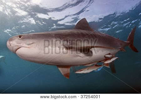 Tiger shark and remora fish