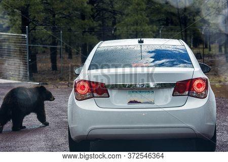 Usa, Arizona 03,06,2017 Cars Ride Among Animals On Bearizona Wildlife Park, Williams, Arizona