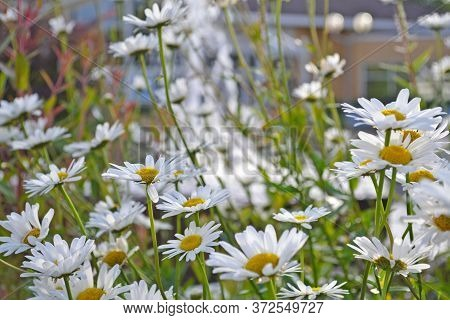 Field Of Chamomile Flowers Close Up. Beautiful Nature Scene With Blooming Medical Chamomile In Dayli