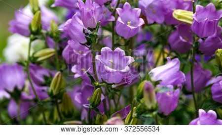 Blue Campanula Canterbury Bells Flowers In Full Bloom In Summer Cottage Garden