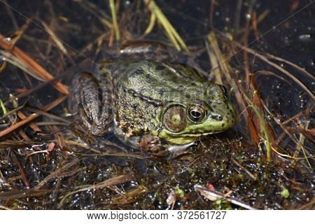 Terrific Green Toad In A Wetland Swamp Or Marsh.