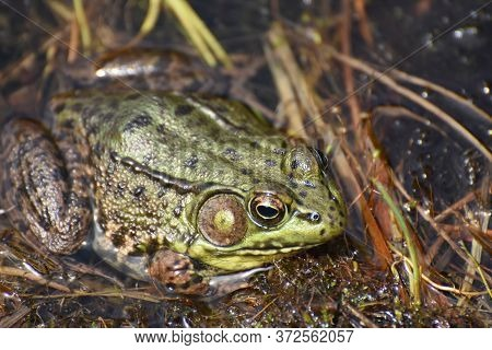 Fantastic Close Up Look At A Large Toad In A Marsh.