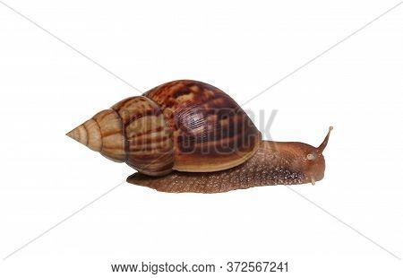 Snail Isolated On White Background, Gastropod Crawling And Have Clipping Paths For You Easy In Work.