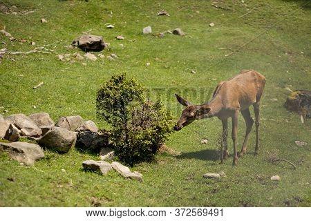 Deers Grazing On Meadow. Deer Herd Meadow Grazing. Deer Herd On Deer Farm. New Born Roe Deer, Wild S