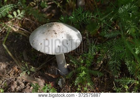 White Mushroom Hiding In The Shadow Of Grass