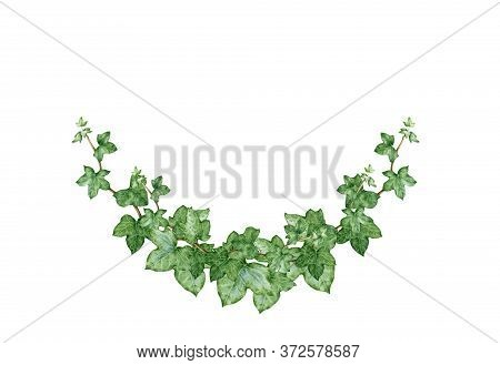 Ivy Arch Green Bouquet Watercolor Illustration. Hand Drawn Close Up Decorative Hedera Border. Evergr