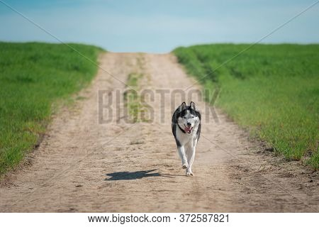 The Dog Runs On A Country Road. Siberian Husky Black And White Colour Outdoors In Summer. A Pedigree
