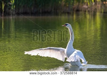 Big White Swan Flaps Its Wings Swimming In The Calm Water Of A River On A Warm Spring Morning, Image
