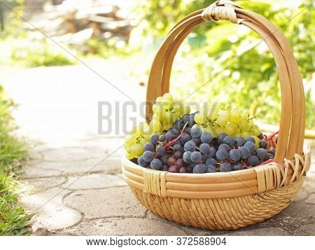 Ripe White And Black Rape Grapes In The Beautiful Wicker Basket In Wooden Table.crop Of Grapevine Ov