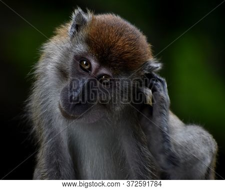 Cute Macaque Monkey Scratching Its Ear And Looking At The Camera