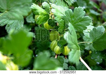 Fresh Green Gooseberries On A Bush Of Gooseberry