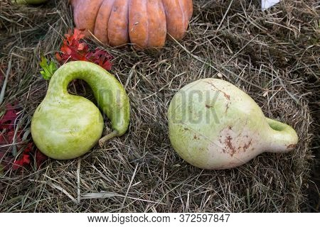 Decorative Pumpkin Varieties Lagenaria (bottle) On The Background Of Yellow Leaves, Hay. Food, Veget