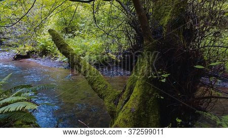 Small Creek In The Redwood National Park