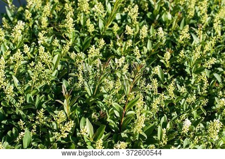 Close-up Of A Privet Hedge In Springtime With Panicles With Green Buds