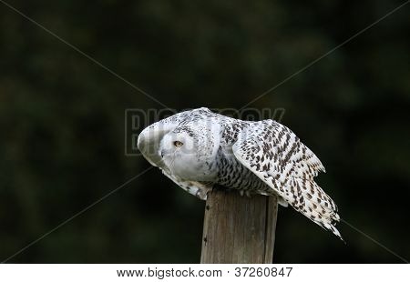 Close up of a Snowy Owl about to fly poster