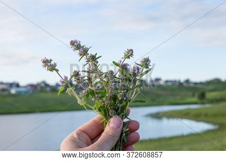 A Womans Hand Holds A Bouquet Of Wild Thyme Medicinal Herb. Thyme Flowers In Nature. Thyme Is Widely