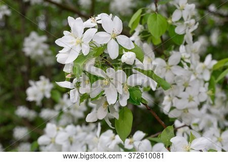 Blooming Branch Of Apple Tree In The Spring Garden. Beautiful White Flowers On Apple Tree.