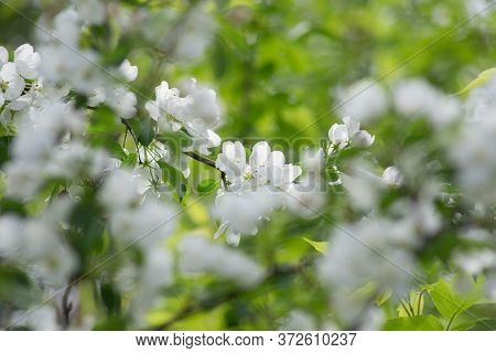 Beautiful White Flowers On Apple Tree With Blurred Background. Blooming Branch Of Apple Tree.