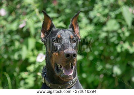Portrait Of Cute Doberman Pinscher In The Sping Park. Pet Animals.