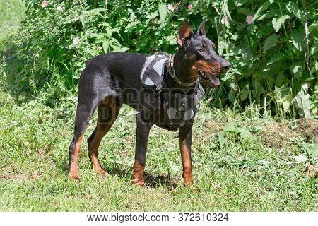 Cute Doberman Pinscher Is Standing On A Green Grass In The Sping Park. Pet Animals.