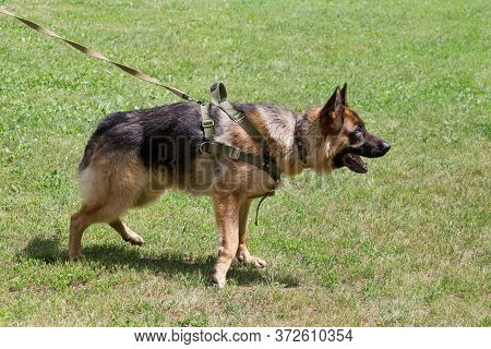 Cute German Shepherd Dog Puppy Is Standing On A Green Grass In The Sping Park. Pet Animals.
