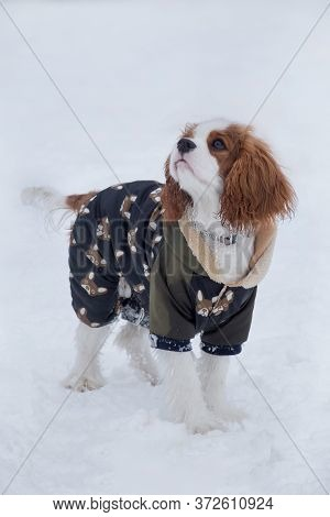 Cute Cavalier King Charles Spaniel Puppy Is Standing On A White Snow On The Winter Park. Pet Animals